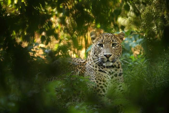 Leopard,-Sri-Lanka-shutterstock_379437526.jpg