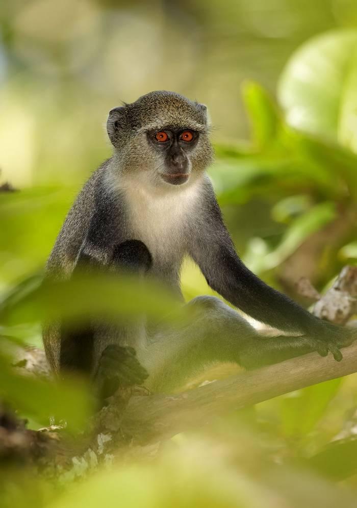 Zanzibar Sykes' Monkey Shutterstock 353592188 2