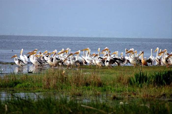White Pelicans (David Morris)