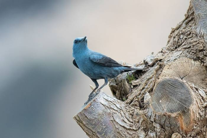 Blue Rock Thrush male (Mike Vickers)