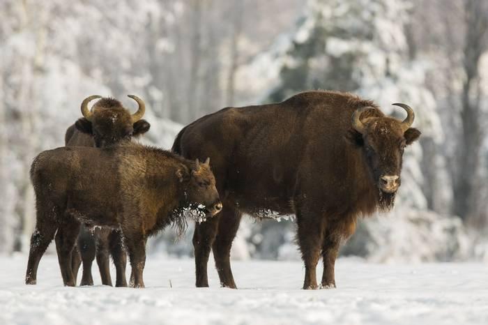 European Bison Shutterstock 754228627