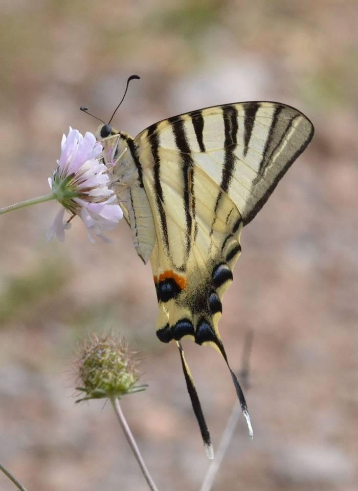 Scarce Swallowtail.1803 Delphi