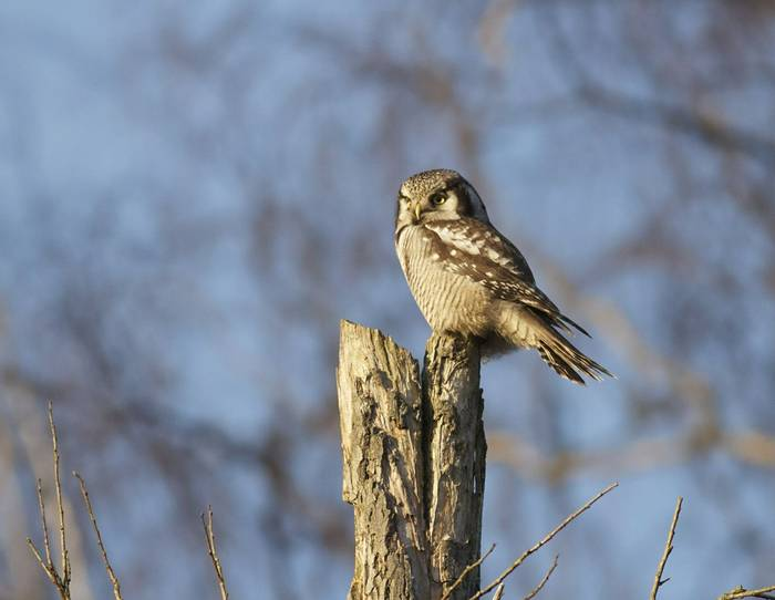 Hawk Owl (Daniel Green)