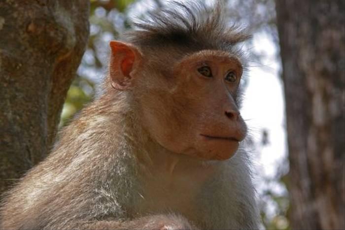 Bonnet Macaque (Tim Melling)