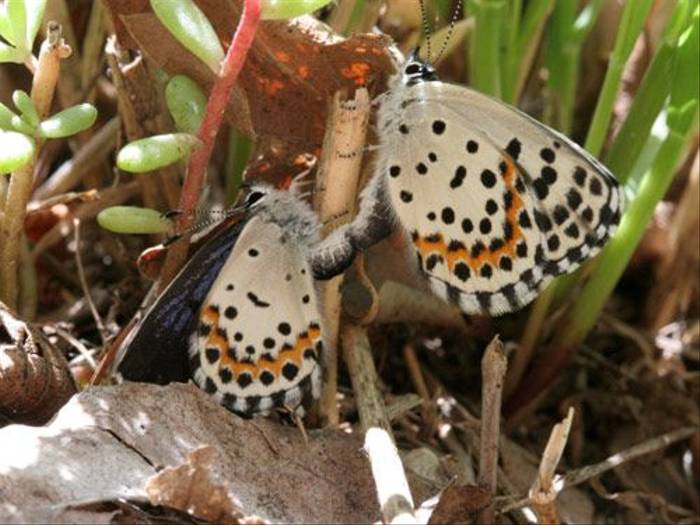 Chequered Blues mating (Tony Daniels)
