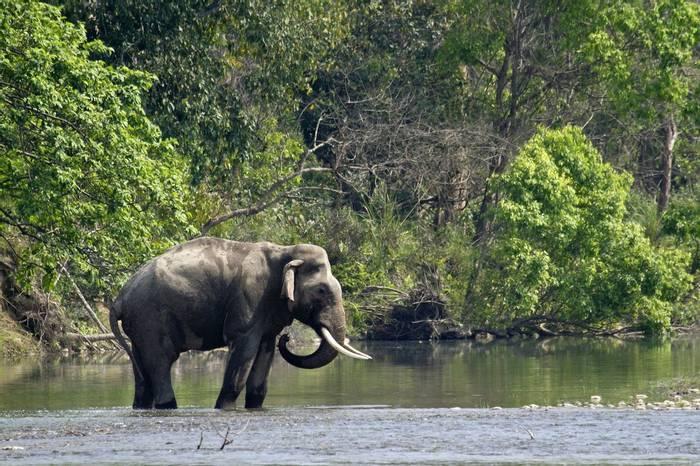 Asian Elephant, Nepal. shutterstock_263278811.jpg