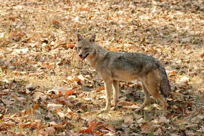 Golden Jackal, Pench (Chris Hutchinson)