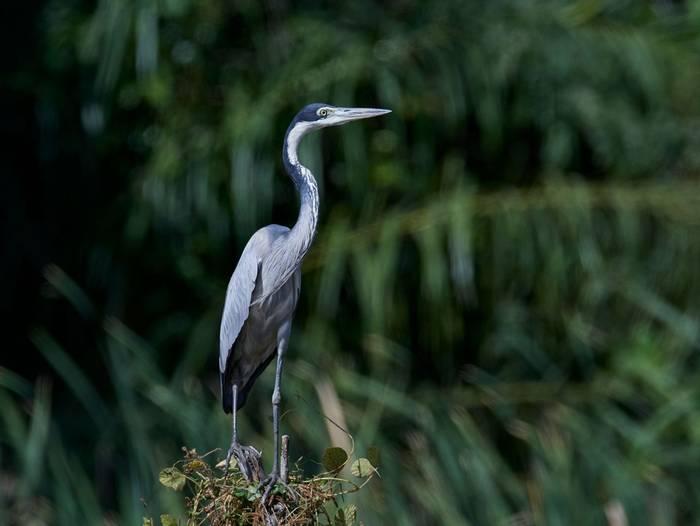 Black-headed Heron, The Gambia shutterstock_1379104103.jpg