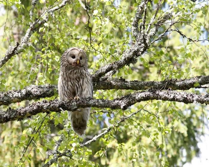 Female Ural Owl (Daniel Green) (2)