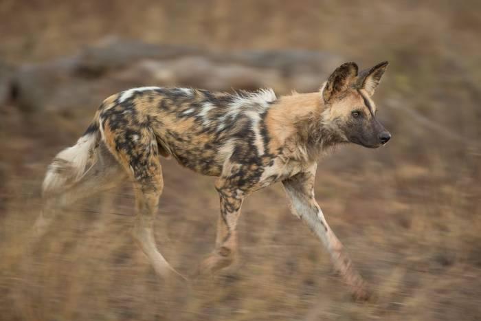 African Wild Dog (Jonathan Lewis) (2)