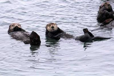Sea Otters by Peter Dunn