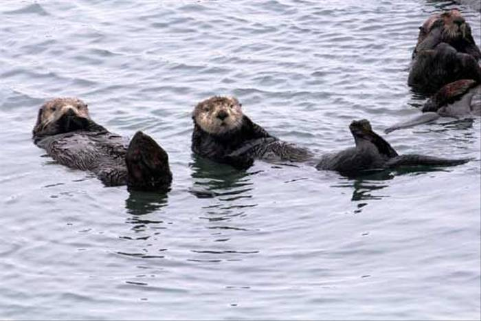 Sea Otters (Peter Dunn)