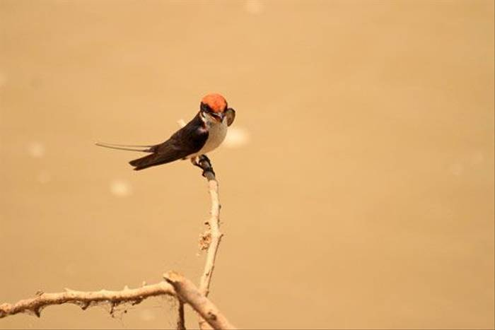 Wire-tailed Swallow (Bret Charman)