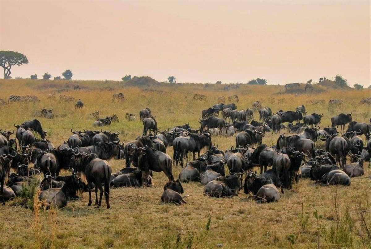 Blue Wildebeest, Ngorongoro Crater, Tanzania Shutterstock 791548156