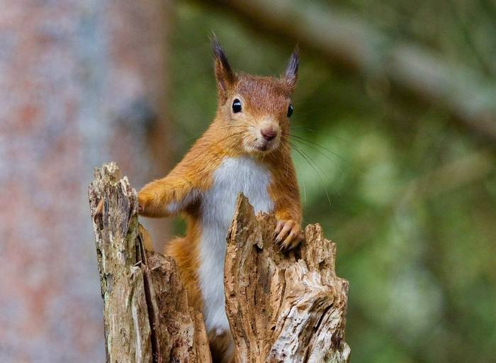 Red Squirrel (Russ Hedley) .jpg