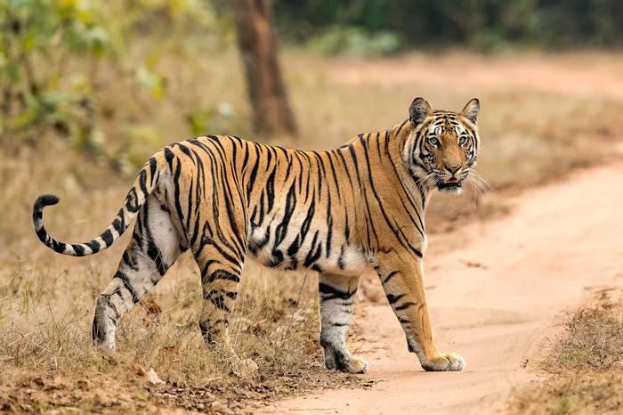Tiger, India shutterstock_401074258.jpg