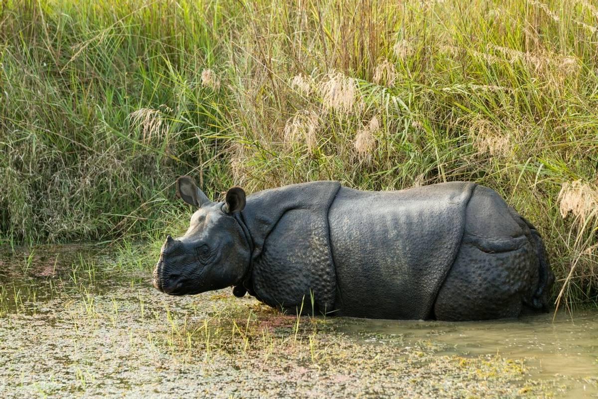 One-Horned Rhinoceros, Chitwan National Park, Nepal