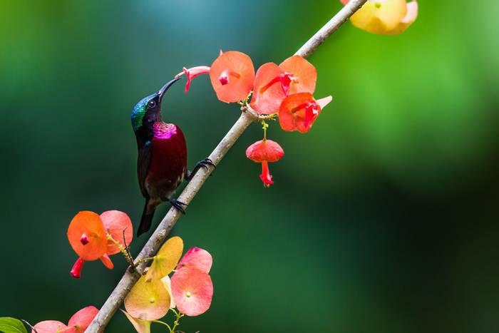 Purple-throated Sunbird, Rwanda shutterstock_309833057.jpg