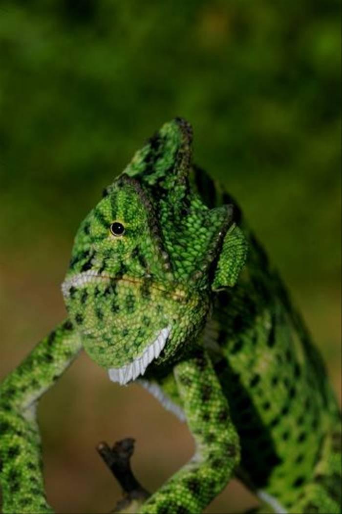 Chameleon, Satpura (David Raju)