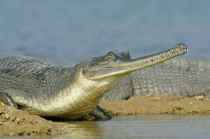Gharial, Chambal River