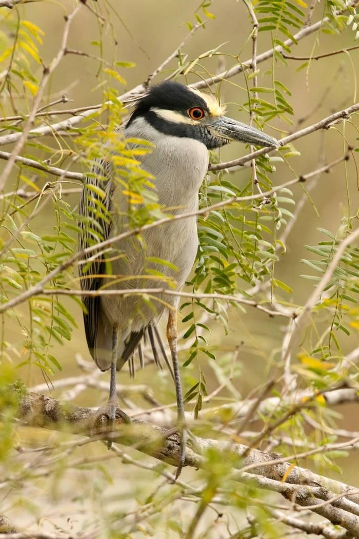Yellow Crowned Night Heron (Estero Llano)