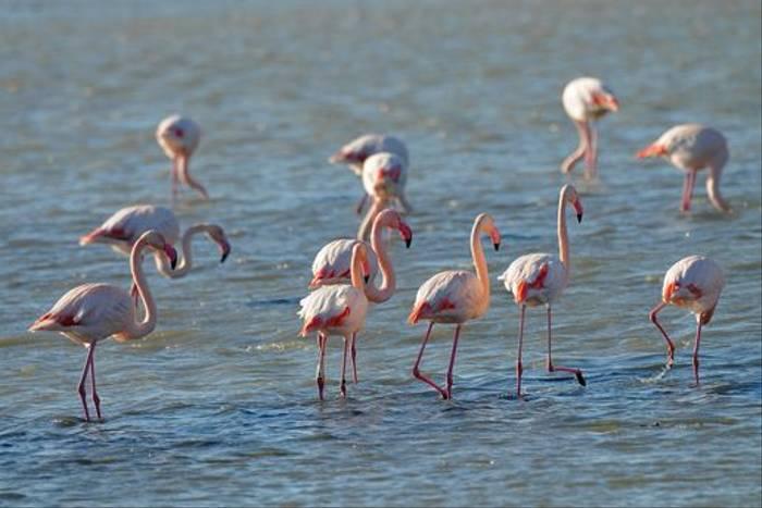 Greater Flamingoes (David Morris)