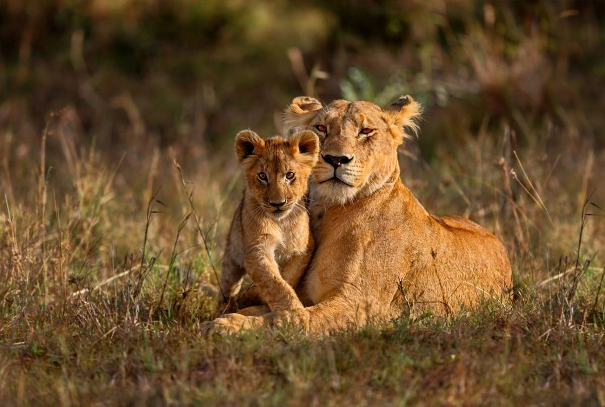 Lion, Tanzania