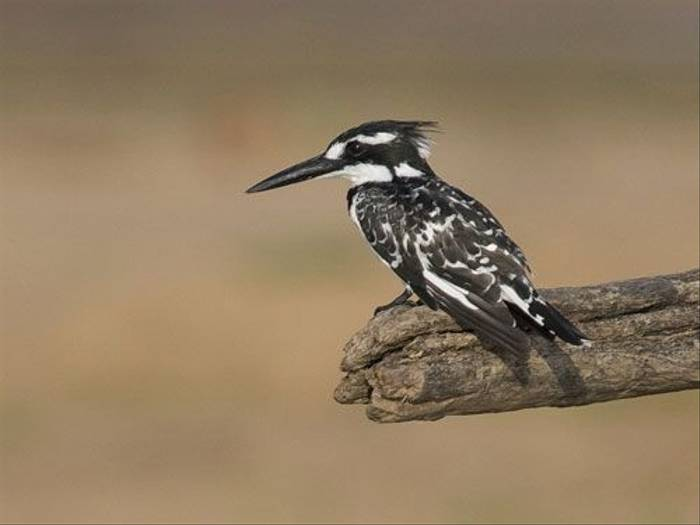 Pied Kingfisher (Ron Foulkes)