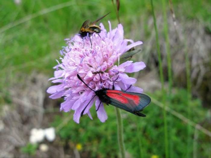 Zygaena osterodensis - A Burnet Moth (Paul Harmes)