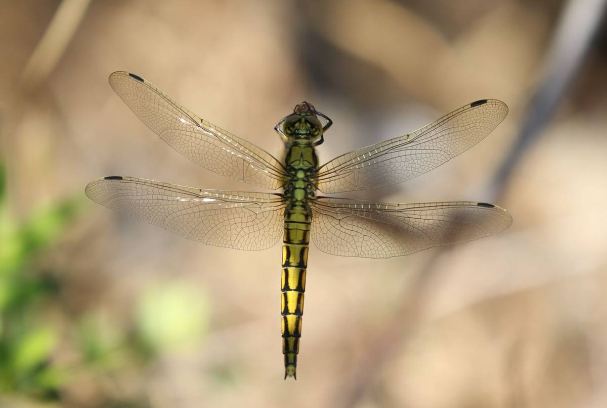 Black-tailed Skimmer (Brian West)