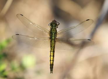 Sardinia's Dragonflies