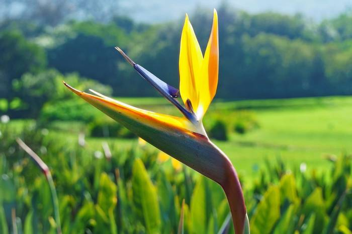Strelizia flower in Kirstenbosch botanical gardens