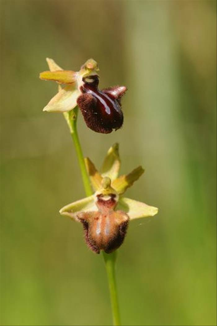 Dark Early Spider Orchid <i>Ophrys incubacea</i> (David Morris)