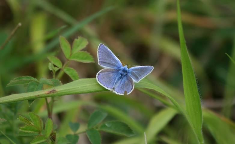 Adonis_Blue_Butterfly.JPG