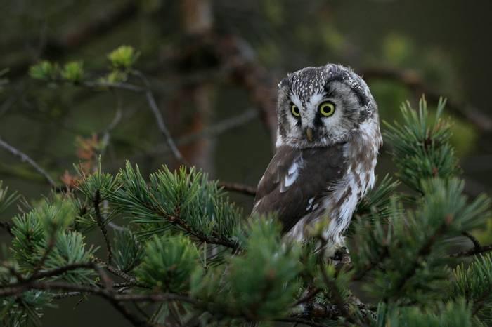 Tengmalm'S Owl Shutterstock 1203662695