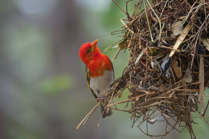 Red-Headed Weaver (Leon Marais)