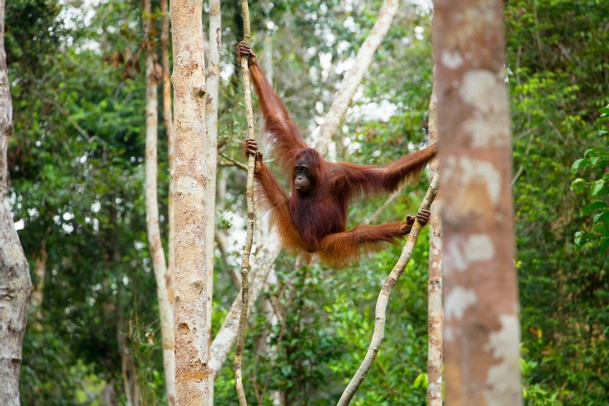 Orangutan, Borneo shutterstock_233603269.jpg