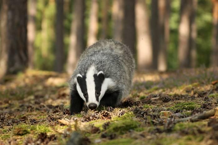 Badger, UK shutterstock_1409999834.jpg