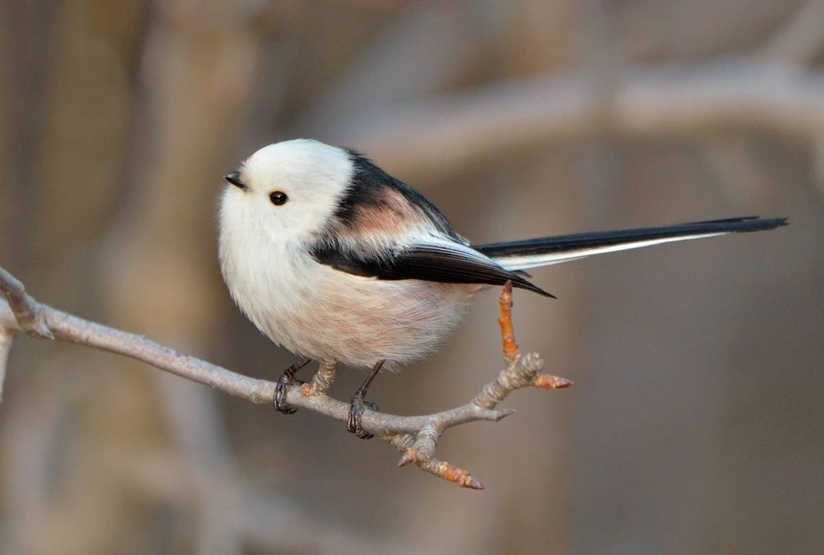 'Northern' Long-tailed Tit