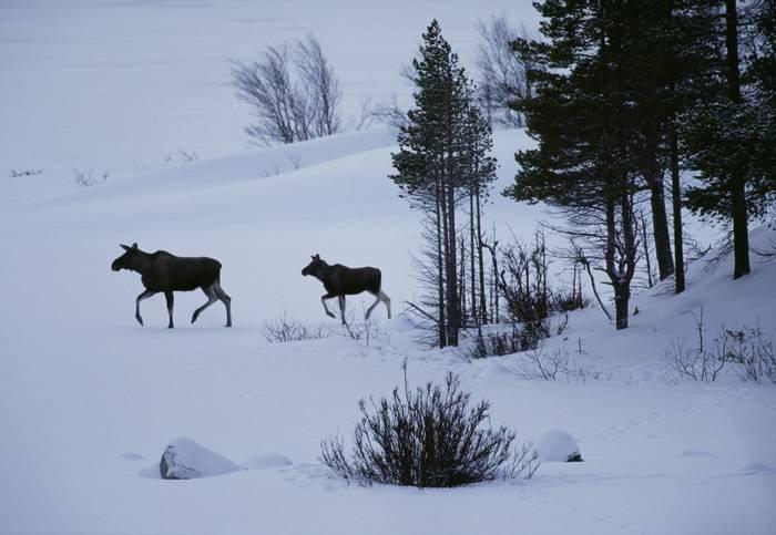 Elk, sweden shutterstock.jpg