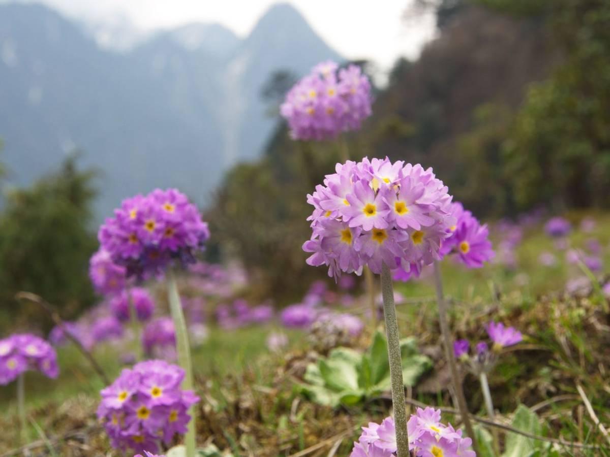 Verbena Hybrida, Sikkim, India Shutterstock 1059451013
