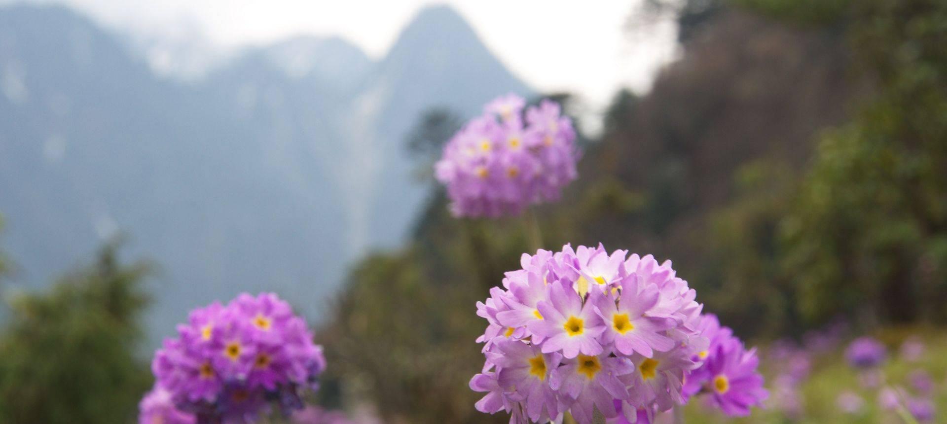 India spring flowers of sikkim darjeeling kalimpong india spring flowers of sikkim darjeeling kalimpong mightylinksfo