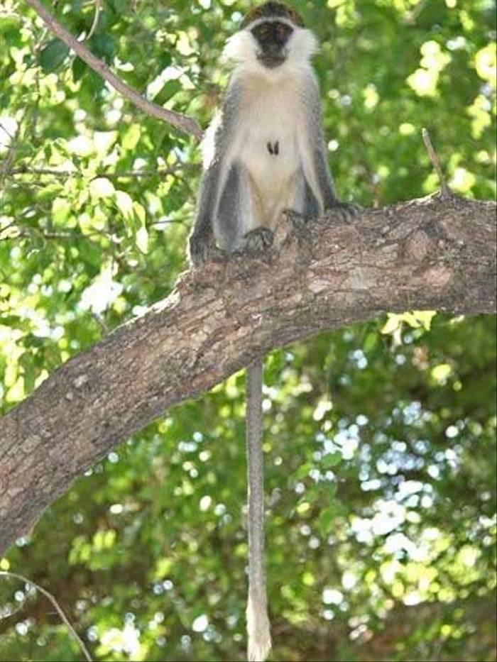 Vervet Monkey (Julia Casson)