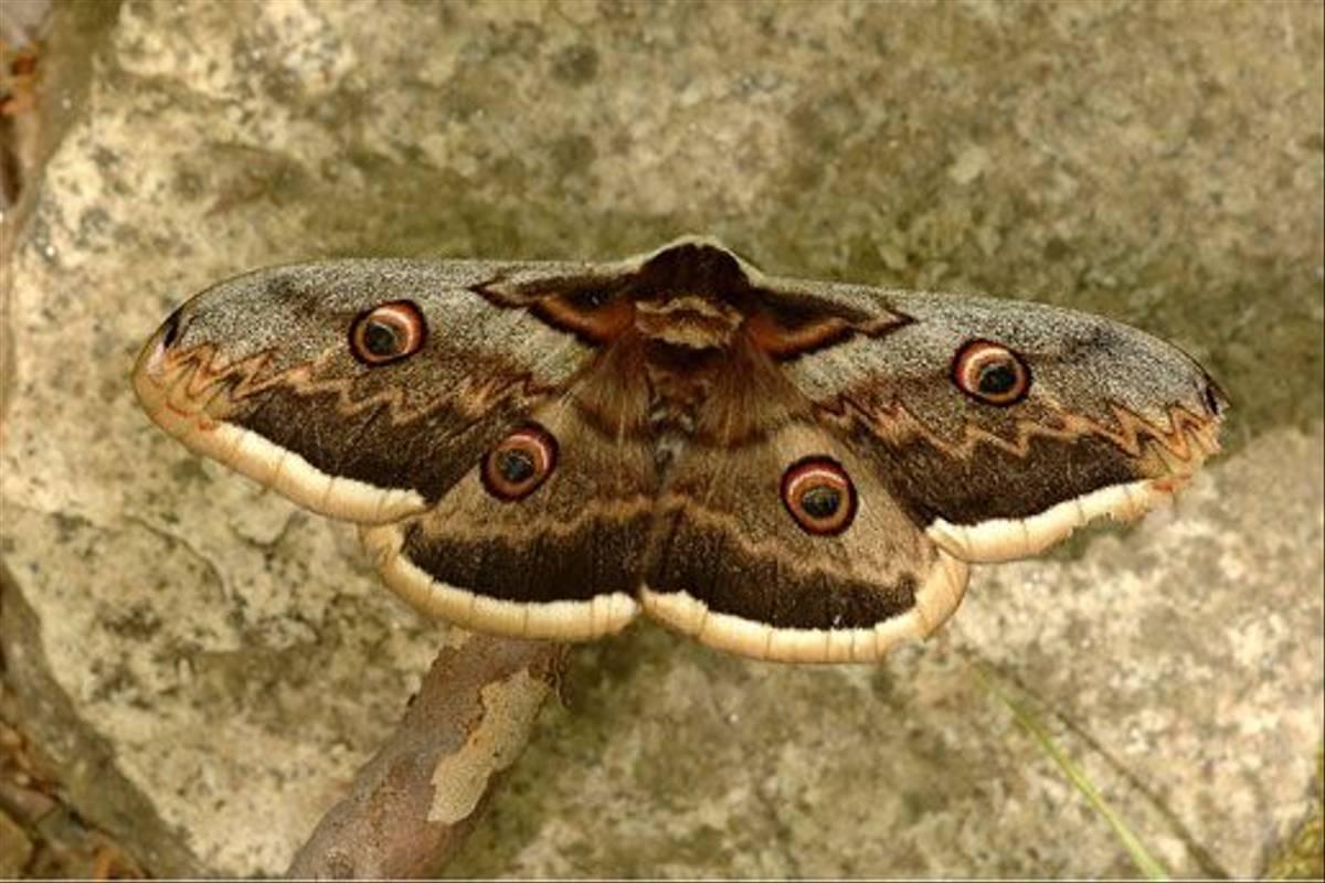 Peacock Moth (David Morris)