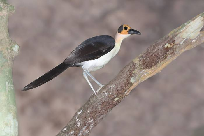 Yellow-headed Picathartes photo credit Stavros.jpg