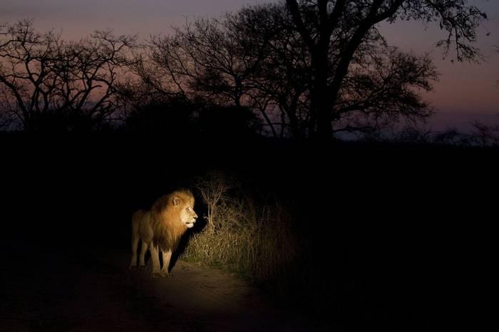 Lion (Leon Marais)