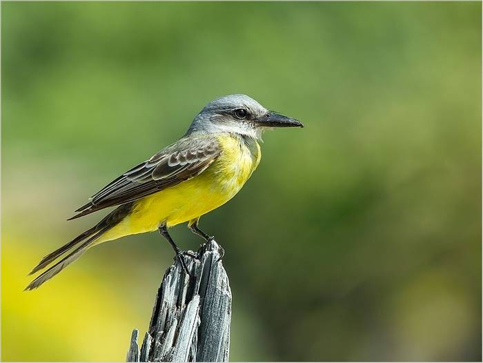 Tropical Kingbird (Kevin Elsby)