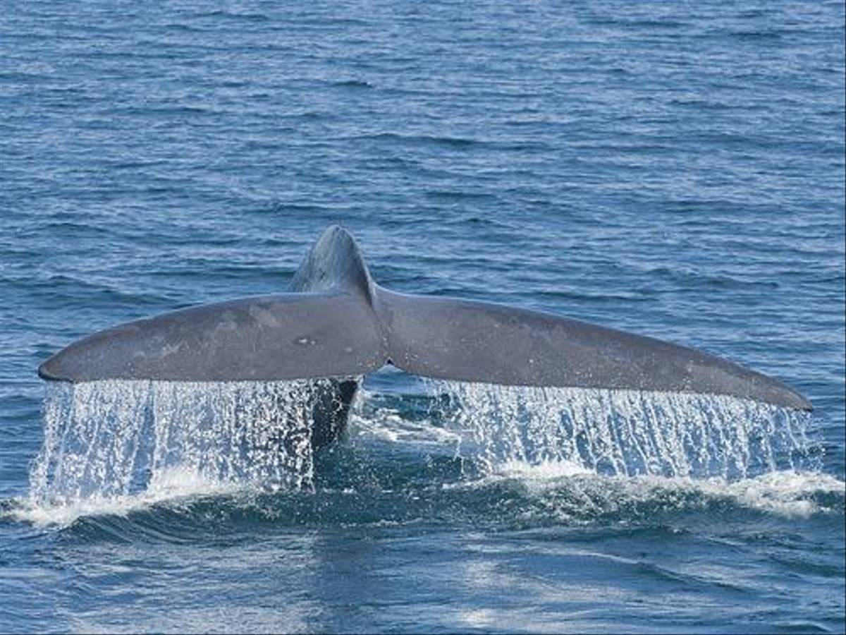 Blue Whale fluke (Paul Marshall)