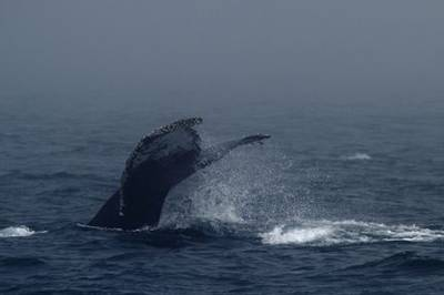 Humpback Whale, Monterey Bay by Roy Cowley