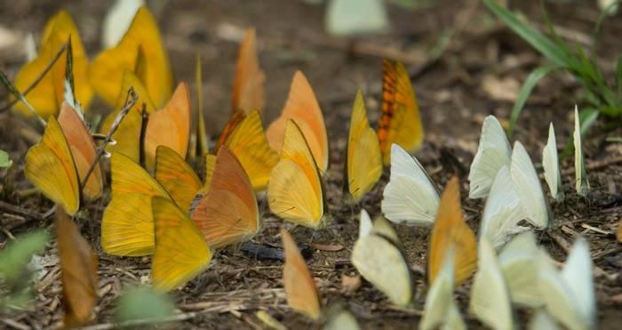 Pieridae butterflies gathering on water, Cuc Phuong National Park, Vietnam shutterstock_1049934869.jpg